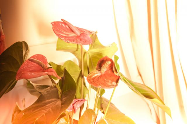 Anthurium_Plants_Port_Alberni_AZ1.jpg