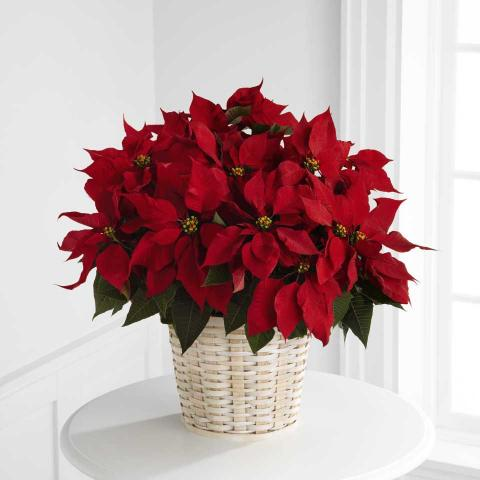 Port-Alberni-Christmas-Poinsettia.jpg
