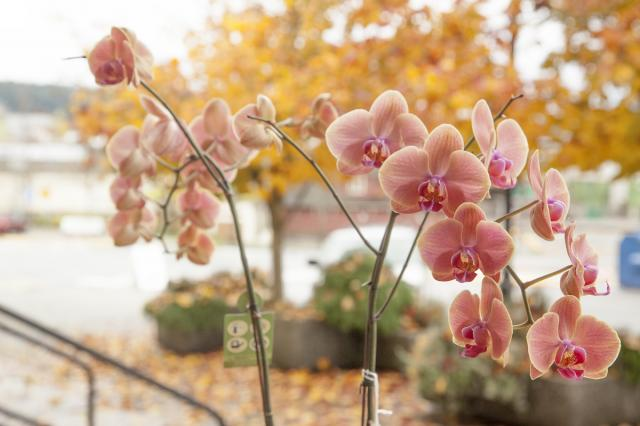 Orchid_Plants_Port_Alberni.jpg