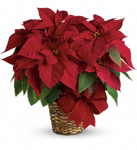Christmas_Poinsettia_Port_Alberni.jpg